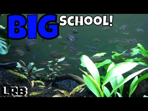 Large School of Rainbowfish Dwarf Neon and Ornate 75 gal Planted Community Tank