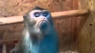 Обиженная обезьяна