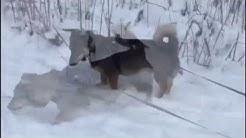 Viipurin koirat - Lilliputti etsii kotia