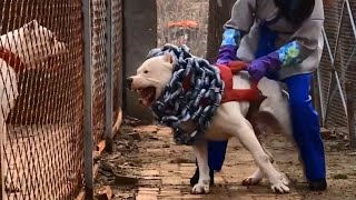 Most Dangerous Dog Breeds In The World #Shorts by In Facts Official