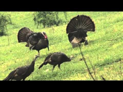 Turkey Hunting Set Up #2- Tripod & Cameraman Concealment Cover