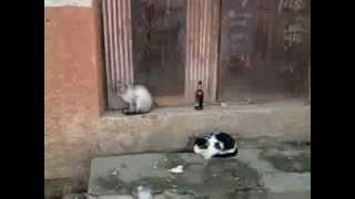 Коты гопники и пьяницы