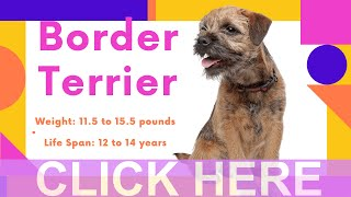 Dogs: Border Terrier Breed Information And Personality