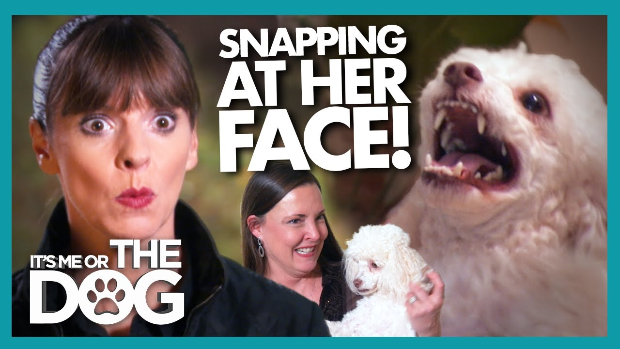Miniature Poodle SNAPS at Victoria's Fingers and Guests' Faces!  | It's Me or The Dog