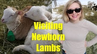 Family Visits Our Newborn Lambs