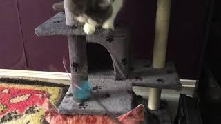 Dilute calico exotic shorthair cat