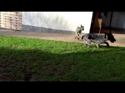 german wirehaired pointer vs irish wolfhound