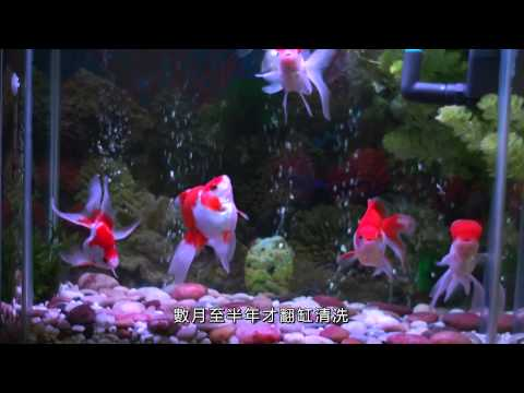 養一缸水清如鏡的金魚 Build a Goldfish Aquarium  with Crystal-like Water