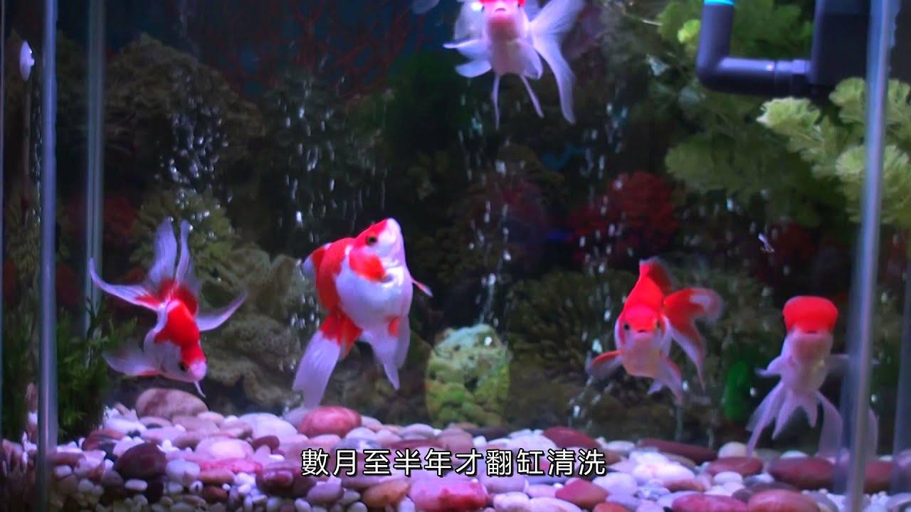 養一缸水清如鏡的金魚 Build a Goldfish Aquarium with Crystal-like Water - YouTube