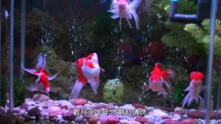 養一缸水清如鏡的金魚 Build a Goldfish Aquarium  with Crystal-like Water