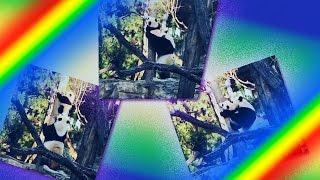 Трогательное видео о спасении мамой пандой малыша-проказника