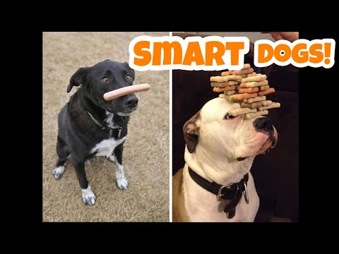 Smart Dogs Compilation (2019) | Funny Dogs Videos