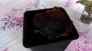 Бегония. Размножение листом