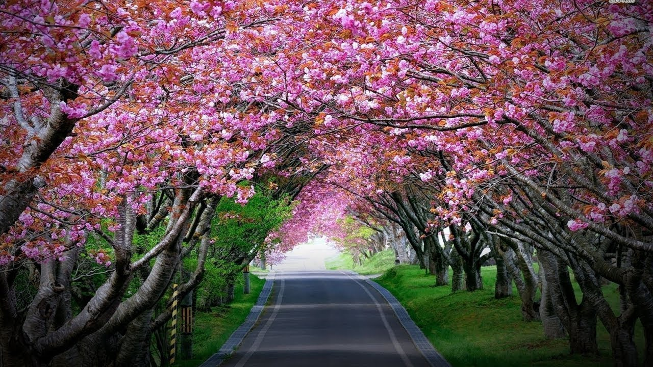 Cherry Blossoms Bloom In Shillong Youtube