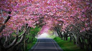 Baixar Cherry Blossoms Bloom in Shillong!
