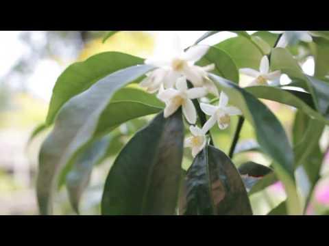 kumquat margarita ( кумкват Маргарита)