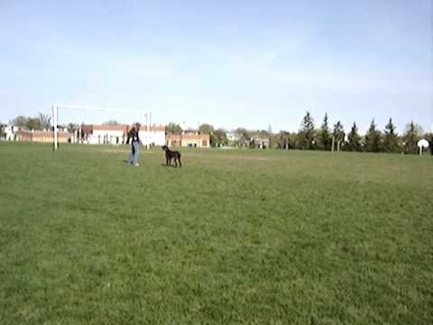 German Shorthaired Pointer Frisbee Catch Compilation