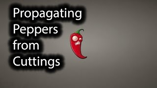 Propagating Plants. Propagate Pepper Plants from a Cutting