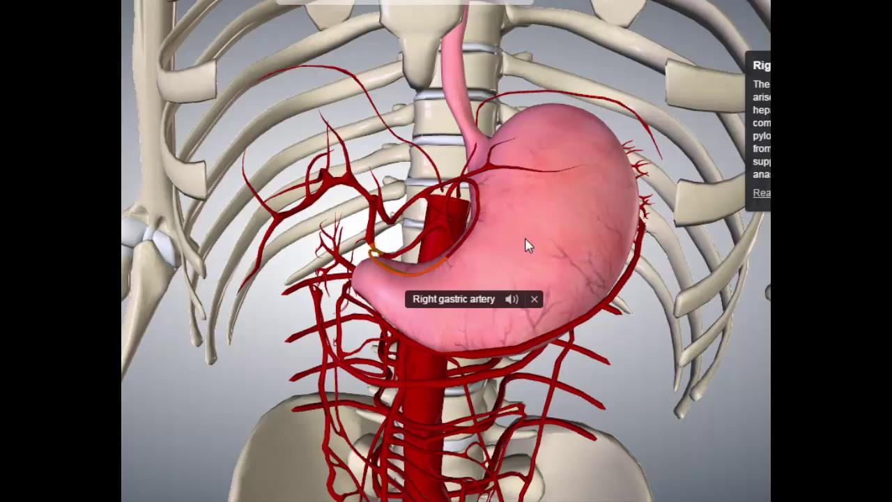 Tronco Celíaco - Aorta abdominal - Anatomía - YouTube