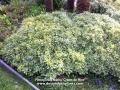 PIttosporum tobira 'Cream de Mint'