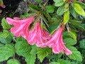 Azalées japonaises 'Encore® Empress' remontante et 'Hino Crimson' Les flemmes fleurs.