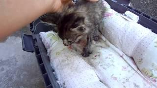 Корчагина 16-котёнок с оторванной лапой,опарыши+вирус.