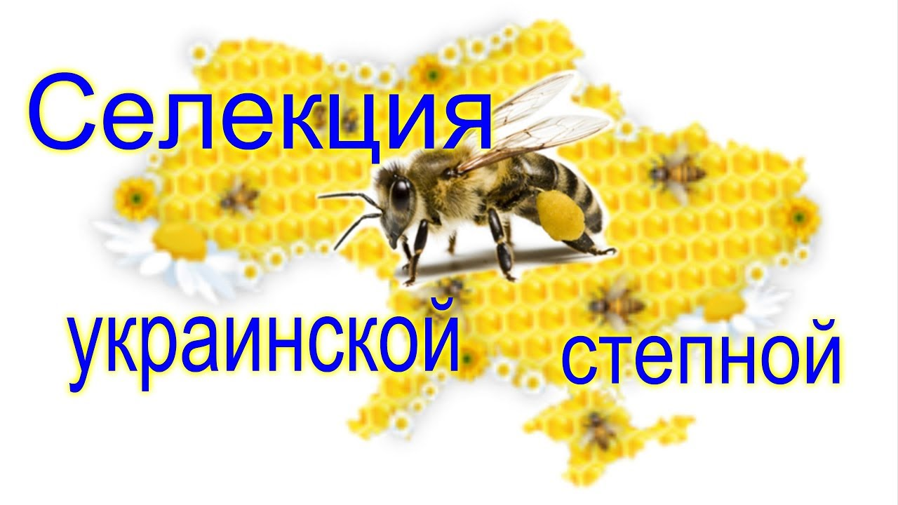№2 Селекция Украинской степной породы пчел