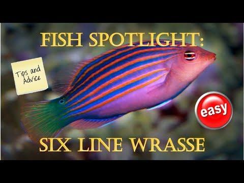 Fish Spotlight: Six Line Wrasse