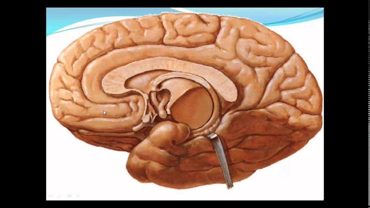 Neuroanatomy of the Limbic System by Dr Ahmed Wael Ibrahim ... Limbic System Add