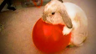 Funny Rabbits 🐰😂 Funny Rabbits Playing Full Funny Pets
