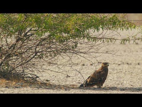 Eastern Imperial Eagle attacks Desert Fox