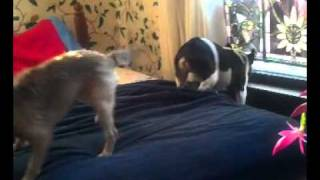 French Bulldog And Border Terrier Bark ... Funny