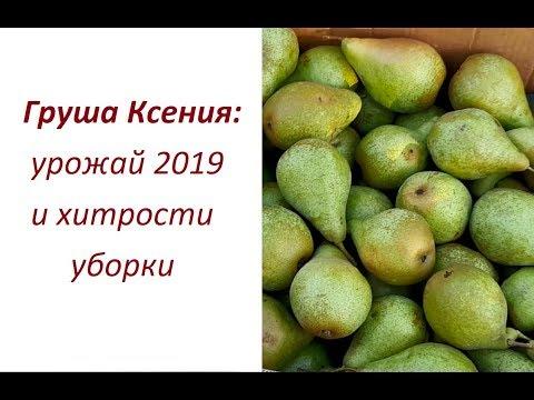 Груша Ксения (Ноябрьская): урожай 2019 и хитрости уборки