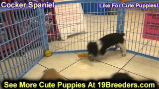 Cocker Spaniel, Puppies, For, Sale, In, Detroit, Michigan, Mi, Waverly, Holt, Inkster, Wyandotte, Fo
