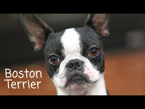 Smudge The Boston Terrier 2nd Birthday