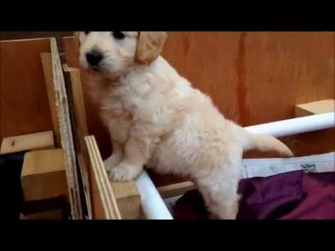 Miniature Goldendoodle Puppies Playing In The Whelping Box