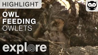 Long Eared Owl Feeds Chicks - Live Cam Highlight thumbnail