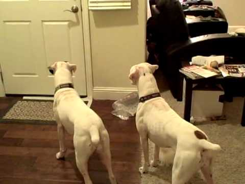 White Boxers welcome dad home - Part 1!