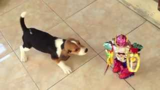 Puppy Beagle Barking At The Toy