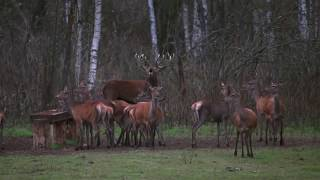 Олень атакует зубра. Red Deer attack bison.