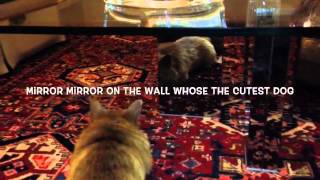 Hermes-norwich Terrier- Houston Dog Training