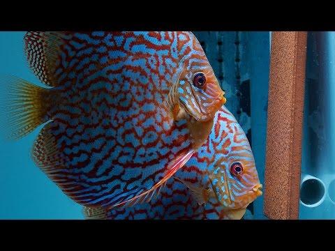 Diskusfische Für Die Zucht | Discus For Breeding