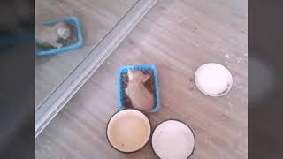 Котята 1 месяц от рыжей британки