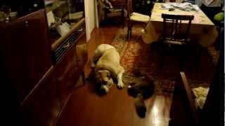 Кот пристает к собаке.MP4
