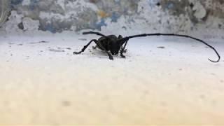 SF - Garden - Longhorn Beetle