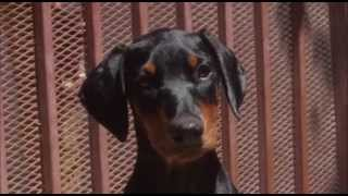 Doberman Pinscher Puppies For Sale - Los Angeles Southern Califorina