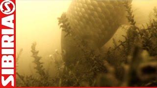 Убийца карася Поклёвка карася Подводные съёмки Рыбалка на убийцу карася