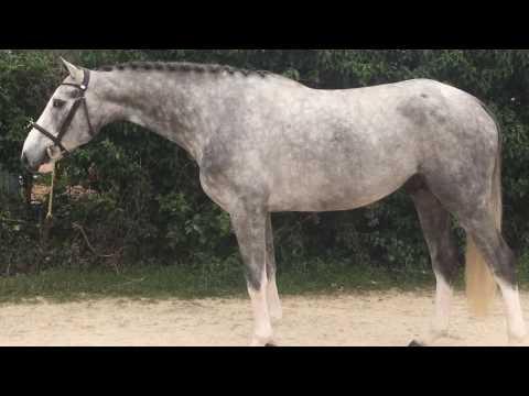 4YO, stallion same dam as Olympic gold medalist Rahotep de Toscane, top jumper or derby prospect