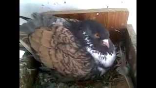 Pigeon Kabutar  Bird Pakistan