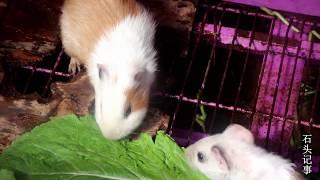 小伙挖紅薯,沒想到紅薯葉都這麼受歡迎,它們吃的真過癮 【石头记事】 thumbnail